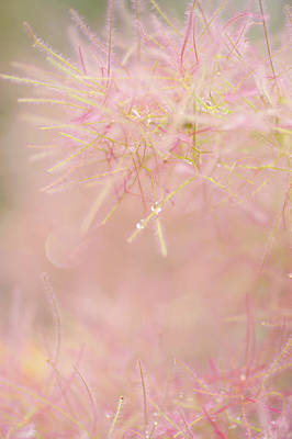 Photograph - Fluffy Threads Of Smoke Tree Bloom by Jenny Rainbow