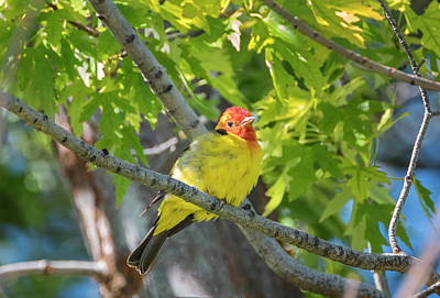 Photograph - Fluffy Western Tanager by Loree Johnson