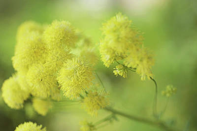 Photograph - Fluffy Yellow Meadow Rue by Jenny Rainbow