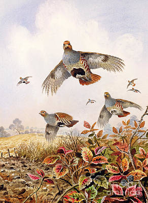 Flock Of Bird Painting - Flushed Partridges by Carl Donner