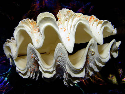 Fluted Giant Clam Shell Print by Frank Wilson