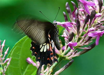 Photograph - Fluttering Butterfly by Denise Mazzocco