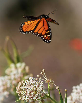 Butterfly In Flight Photograph - Fly Away - Monarch Butterfly by Carl Jackson