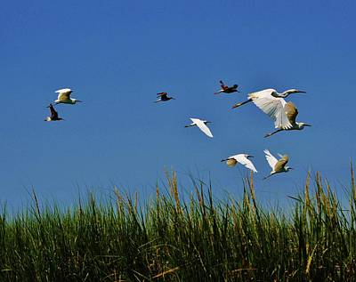 Photograph - Fly Away, A Group Of Egrets Take Flight From A Marshy Area In The Indian River Bay by William Bartholomew