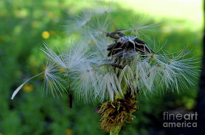 Photograph - Fly Away Seed by D Hackett