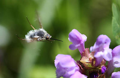 Purple Photograph - Fly Bee by Gary Wing