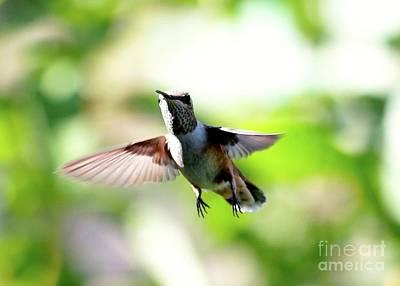 Photograph - Fly By Hummingbird by Carol Groenen