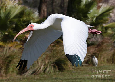 Photograph - Fly By Ibis by Carol Groenen