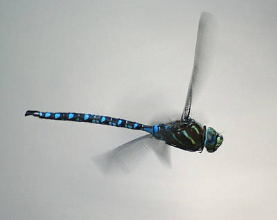 Photograph - Fly Dragon Fly by Ben Upham III