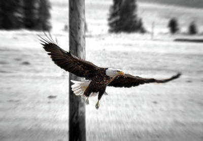 Photograph - Fly Like An Eagle by Kevin Munro