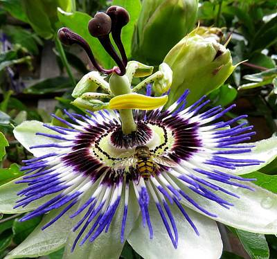 Photograph - Fly On A Passion Flower by John Topman