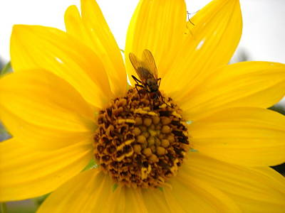 Photograph - Fly On Yellow Flower by Kent Lorentzen
