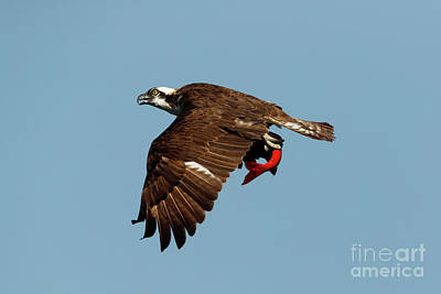 Photograph - Flyby by Beve Brown-Clark Photography
