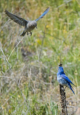 Bluebird Photograph - Flyby Flirt by Mike Dawson
