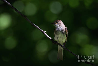 Photograph - Flycatcher by Andrea Silies