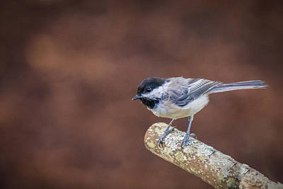 Vermeer Rights Managed Images - Flycatcher Royalty-Free Image by Black Brook Photography
