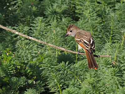 Photograph - Flycatcher by Paula Ponath