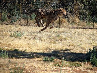 Photograph - Flyin' Cheetah by Diane Height