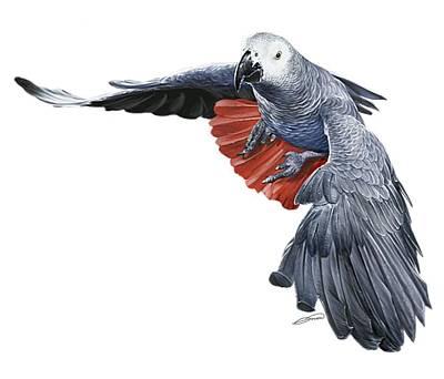 Digital Art - Flying African Grey Parrot by Owen Bell