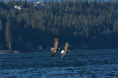 Photograph - Flying Bald Eagles by John Pavolich