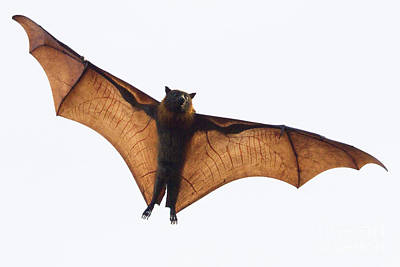 Photograph - Flying Bat by Craig Dingle