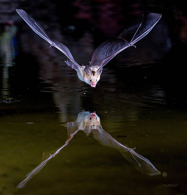 Flying Bat With Reflection Art Print