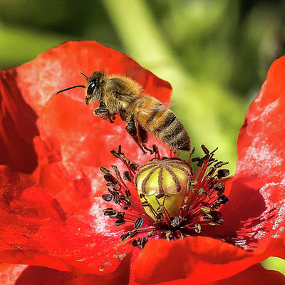 Photograph - Flying Bee Over Red Poppy by Jay Blackburn