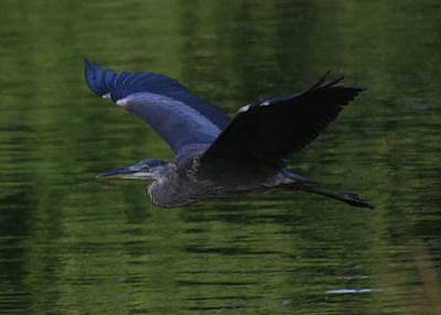 Photograph - Flying Blue Heron by Christopher Kirby