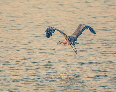 Photograph - Flying Blue Heron by Dan Sproul
