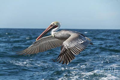 Photograph - Flying Brown Pelican by Robert Bales