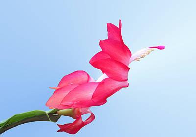 Schlumbergera Photograph - Flying Cactus by Kristin Elmquist