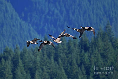 Photograph - Flying Canada Geese by Sharon Talson