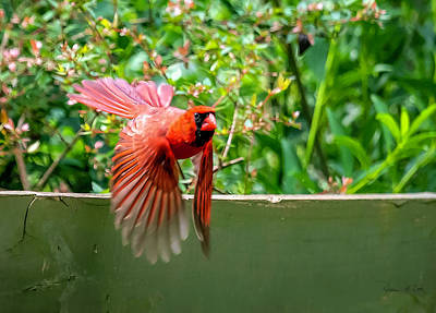 Photograph - Flying Cardinal by Bellesouth Studio