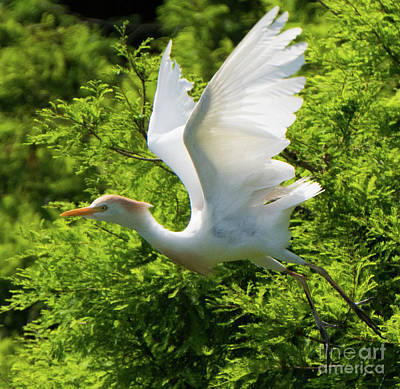 Photograph - Flying Cattle Egret by Vincent Billotto