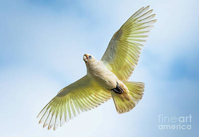 Photograph - Flying Cockatoo by Andrew Michael