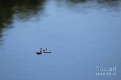 Photograph - Flying Dragonfly In Blue by Carol Groenen