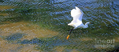 Photograph - Flying Egret II by Mary Haber