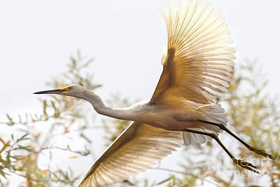Photograph - Flying Egret  by Jerry Cowart