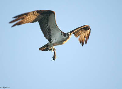 Eagles Photograph - Flying Fish by Cory Bucher