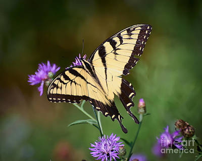 Tiger Swallowtail Photograph - Flying Flowers by Kerri Farley