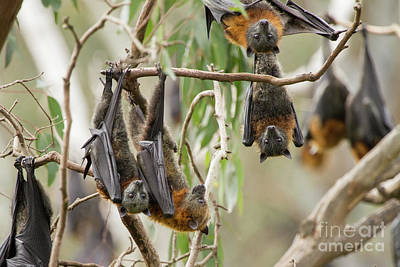 Photograph - Flying Fox Colony by Craig Dingle