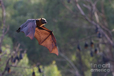 Flying Fox In Mid Air Art Print