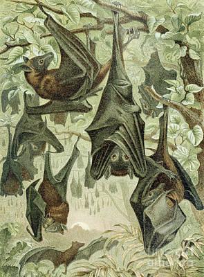Bat Drawing - Flying Foxes by German School