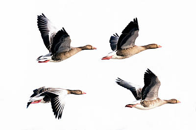 Photograph - Flying Geese by Mike Santis