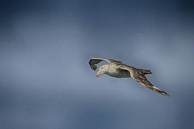 Photograph - Flying Giant by John Haldane