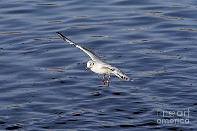 Lapwing Wall Art - Photograph - Flying Gull by Michal Boubin
