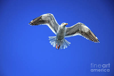 Flying Gull Art Print by Robert Bales