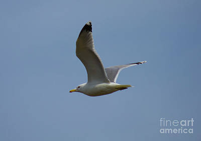 Photograph - Flying Gull Wings Up by Donna L Munro