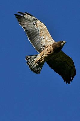 Flying Hawk Under A Blue Sky Print by Mario Brenes Simon