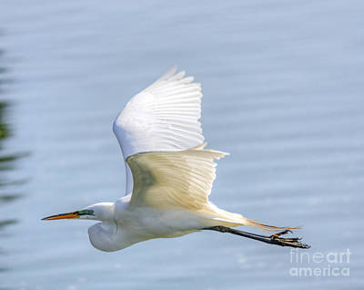 Photograph - Flying Heron by David Cutts